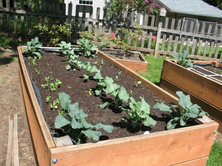 Kale, Snap Peas, Broccoli and Kohlrabi all in the same raised Bed